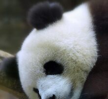 Sleepy Panda by dotweb