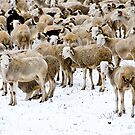 Sheeps by Isard