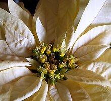 White Poinsettia by sstarlightss