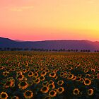 sunflower field by Bogdan Ciocsan