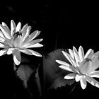 Two Water Lilies, In Black and White by cclaude