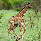 WAIT FOR ME - THE BABY GIRAFFE – Giraffa Camelopardalis (KAMEELPERD) by Magaret Meintjes