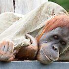 Orangutan by Frank Moroni