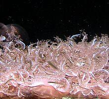 Upside down jelly fish by rhib62