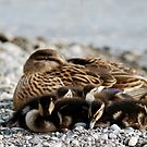 Duck family sleeping by Riviera