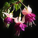 Pink & Purple Fuchsia trio in my garden by Bev Pascoe