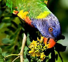 Rainbow Lorikeet by Matt Duncan