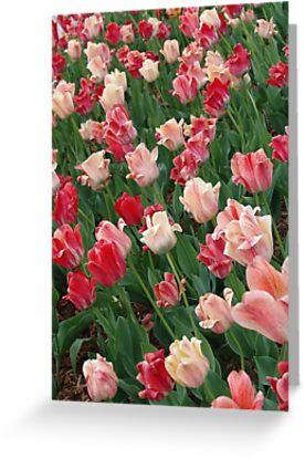 Tulips by May Lattanzio