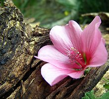 Hibiscus by laureenr