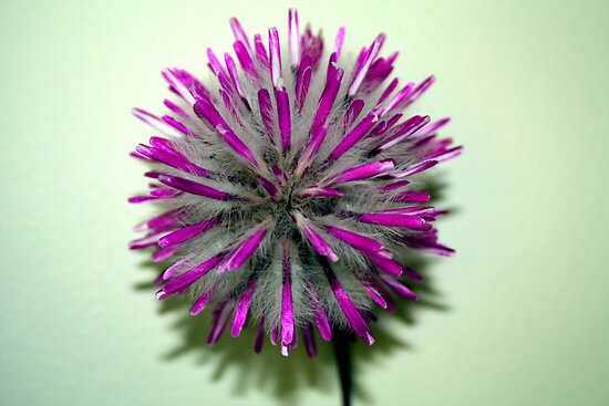 Pom Pom (Rose-tipped Mulla Mulla)  by Elaine Teague