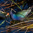 Purple Gallinule - Everglades National Park, Florida by Tomas Abreu