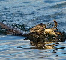 Otter swimming with crab by wildlifephoto