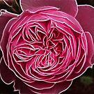 Rose by Trevor Kersley