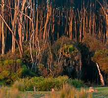 kangaroos  by Daryl Gordon