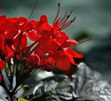 Red in Bunches by Jen Millard