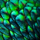 PEACOCK SCALES by SIMON KEEPING