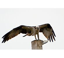 An Osprey on a pole with a live fish Photographic Print