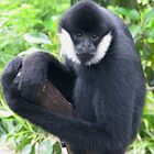 White cheeked gibbon at Adelaide Zoo by Mel1973