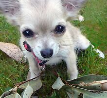 Little White Chihuahua Pup by Roz McQuillan