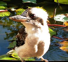Kookaburra before he dived into the fish pond by Marilyn Baldey