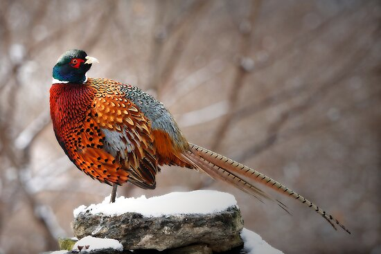 Ring-Necked Pheasant by Bobby McLeod