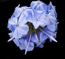 Blue crown by laureenr