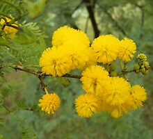 Acacia by laureenr