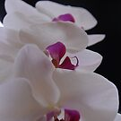 White Orchid by Jeremy Owen
