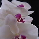 White Orchid by Jeremy Owen