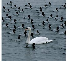Swan VII - Dare to be Different! Photographic Print