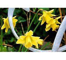 Daffodils by a gate  Photographic Print