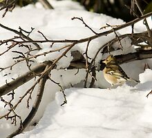 Sparrow on the snow by becks78