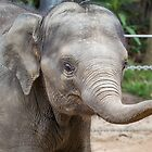 Asian Baby Elephant by Frank Moroni