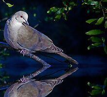 Morning Dove by Natures Vision