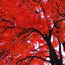 Red Maple by elasita