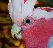 What a Galah  by Kathryn Potempski