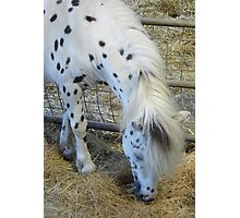 White Appaloosa Horse Photographic Print