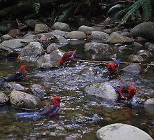 Circle of friends.  Parrots at Badgers Creek, Healsville Victoria.  by Lozzar Flowers & Art