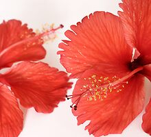 Red Hibiscus by AnnieD