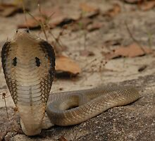 Indo - Chinese Spitting Cobra (Naja siamensis) by Peter Ellen