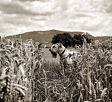 Wheaten in the Wheat by Boston Thek Imagery