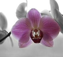 Pink Orchid by Pamela Jayne Smith