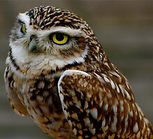 Little Owl (Basil) by Louise Fahy