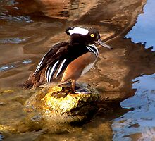 MALE HOODED MERGANSER by TomBaumker