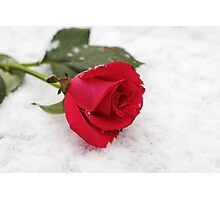 A rose on the snow Photographic Print