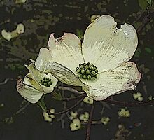 Dogwood Blossom  by Margie Avellino