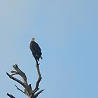 Bald Eagle by meinvb