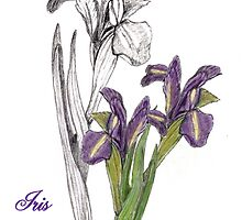 Sketch of an Iris  by saleire