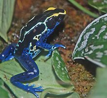 Dart Frog Yellow by mwfoster