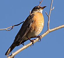 Proud to be  An American Robin by Chuck Gardner